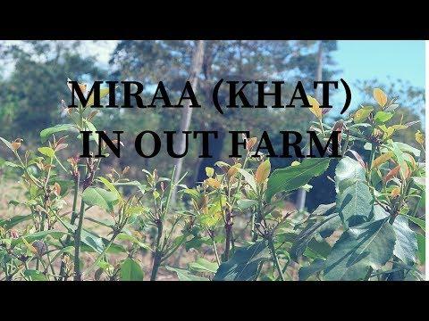 MIRAA (KHAT) IN OUR FARM.