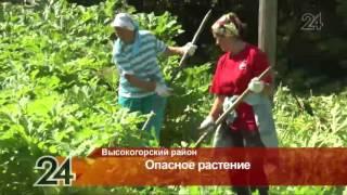 Житель Высокогорского района получил ожог руки от борщевика