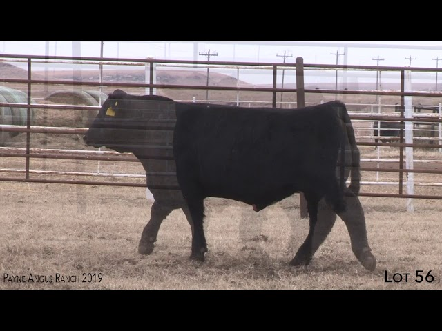 Payne Angus Ranch Lot 56