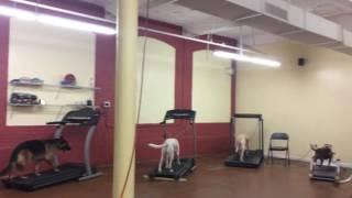 Training | Treadmill work | Solid K9 Training Dog Training