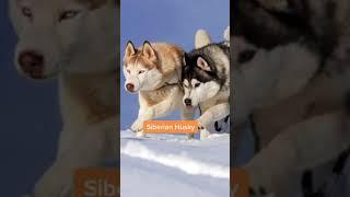 Alaskan Klee Kai: What breeds were used to create these mini huskies?