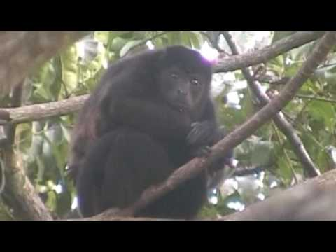 Mono Congo - Howler Monkeys live in our trees