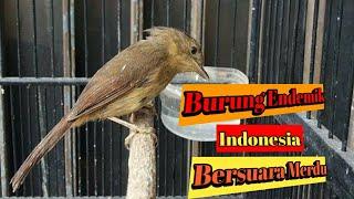 Burung Wergan / Flamboyan | Saingan Sikatan Londo | Burung Kicau Terbaru di Indonesia