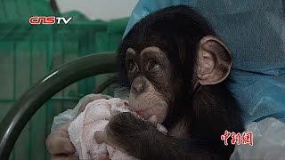 这么可爱的小猩猩却被妈妈抛弃了/ Chimpanzee Baby was abandoned by mothe