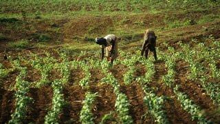 Ouganda:les réfugiés congolais engagés dans la riziculture
