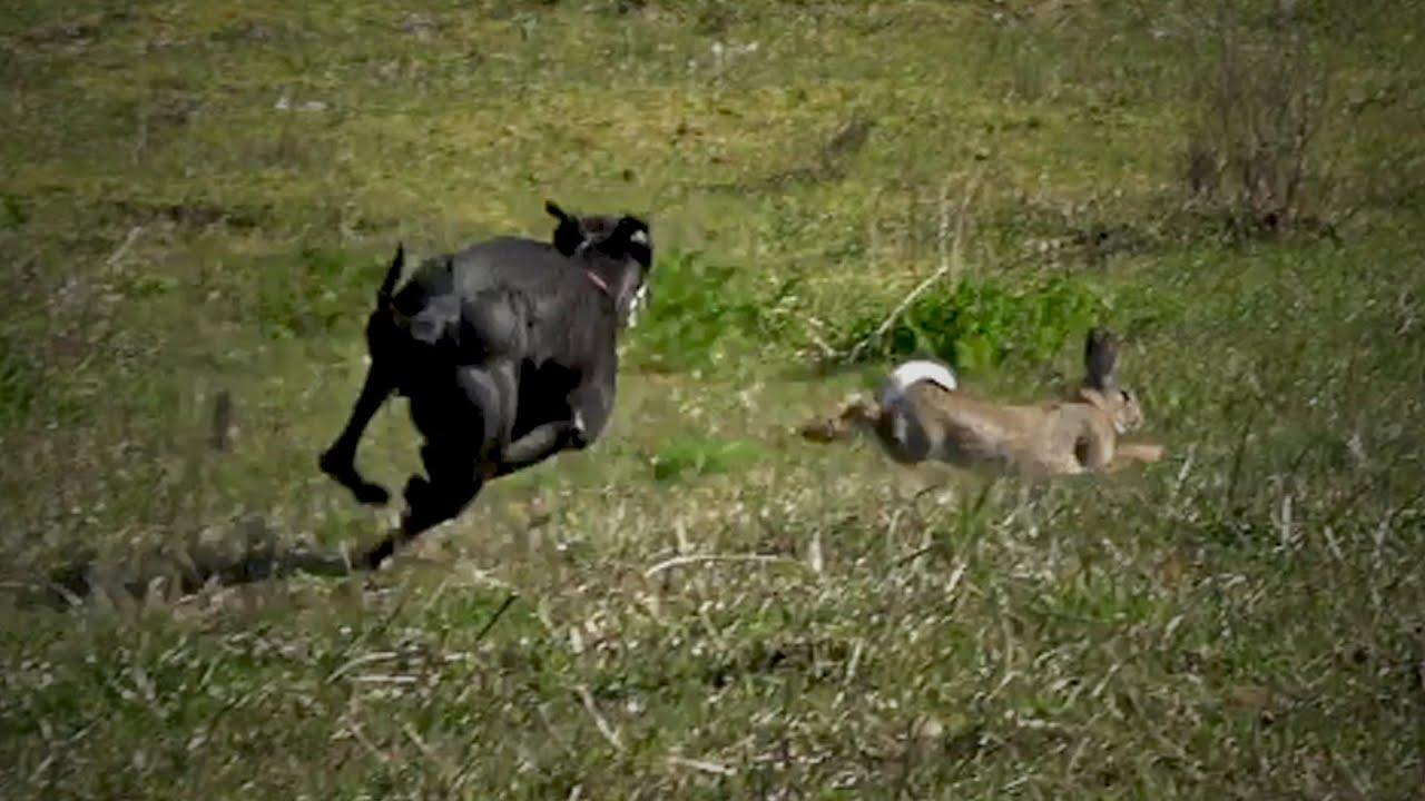 Cacería de Conejos Con Beagle y Galgos  Tras el Rastro del Conejo 2020