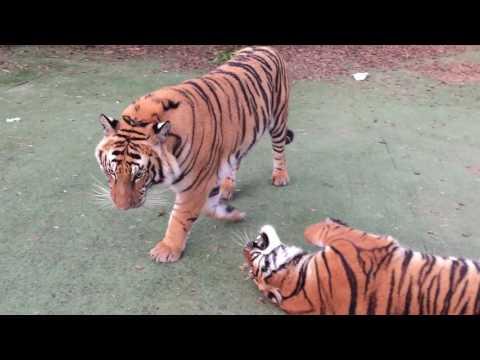 Tigers will be Tigers !