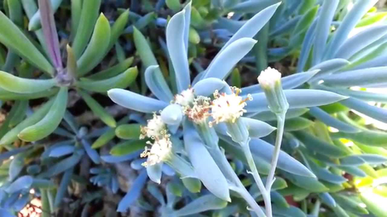 Blue chalk sticks plant - Blue Chalksticks Senecio Serpens Hd 01