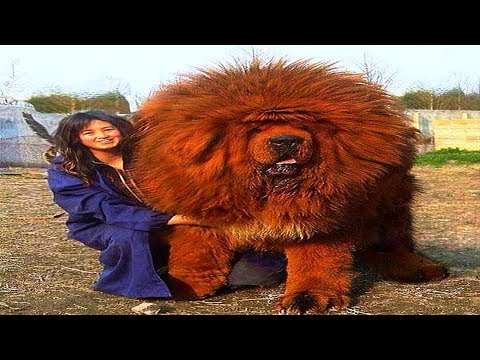 TOP 10 Giant Dog Breeds 2018