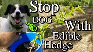 Growing Kei Apples as Edible Hedge to Stop Dog