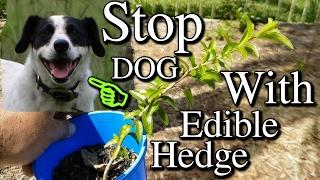 Growing Kei Apples as Edible Hedge to Stop Dog