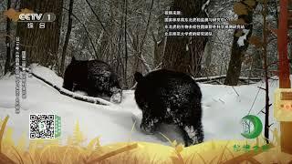 《秘境之眼》 梅花鹿/虎/黑熊/豹/黄喉貂/马鹿/赤狐 20200116| CCTV
