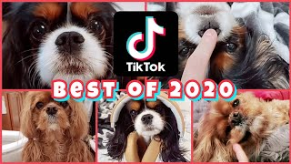 Best of our 2020 TikTok Compilation  Cavalier King Charles Spaniels