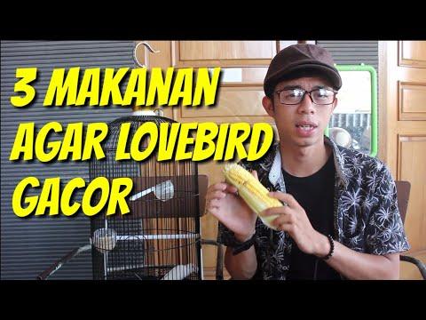 3 Makanan Lovebird Agar Gacor