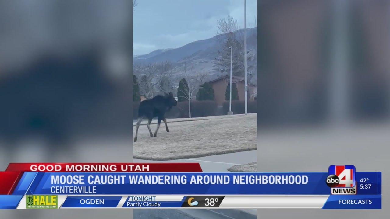 Moose caught wandering around neighborhood, tranquillized
