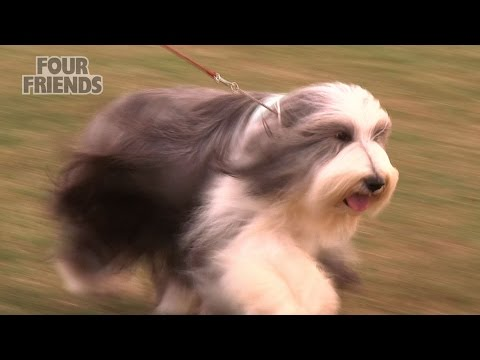 Windsor Dog Show 2015 - Pastoral group