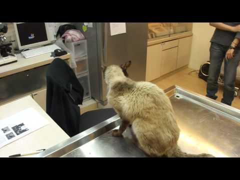 南海之貓 暹邏貓領養記錄 2/2 @康廷動物醫院 20110323 18:18