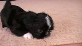 Imperial Shih Tzu Puppy, 6.5 Weeks.