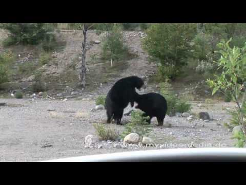 Schwarzbaeren,  Black Bears, Ours Noir, Laurentides - Canada HD Travel Channel