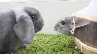Bunny vs Chinchilla