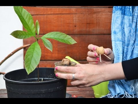 Cultivando c tricos como plantar limones en macetas co - Plantar limonero en maceta ...