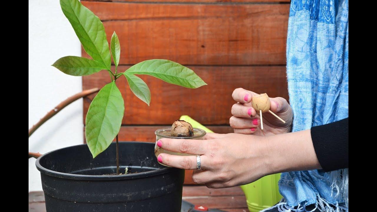El huerto en casa 23 aguacate youtube for Como sembrar semillas en macetas