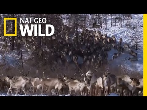 Living with Reindeer | Polar World