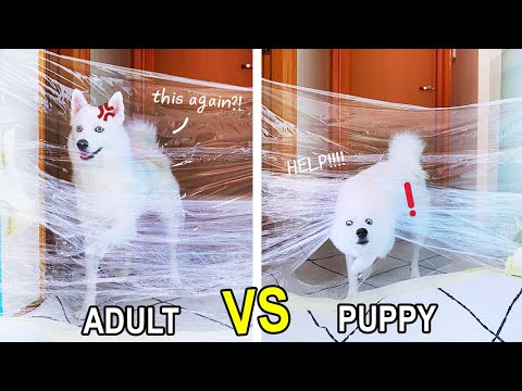 Puppy Can DO THIS Better Than Adult?! INVISIBLE WALL CHALLENGE | MiniMoochi