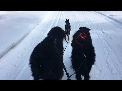 Newfound Kelpie Skijoring