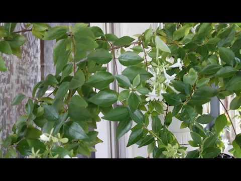 Абелия крупноцветковая. Ароматные комнатные растения
