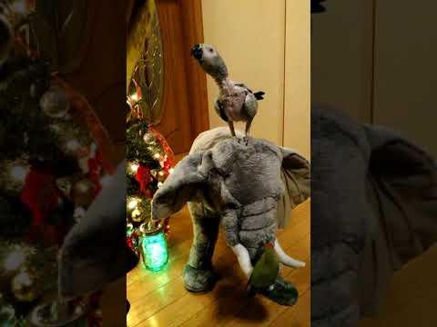 ヨウムのヨースケサンタマリアデラックスとクリスマス