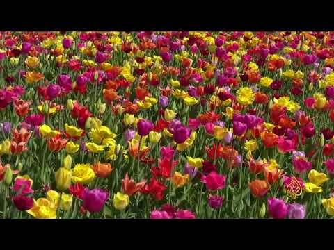 هذا الصباح-كيوكنهوف.. حديقة الربيع الأوروبية