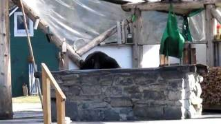 Black Bear at the Taku Glacier Lodge Outdoor Grill