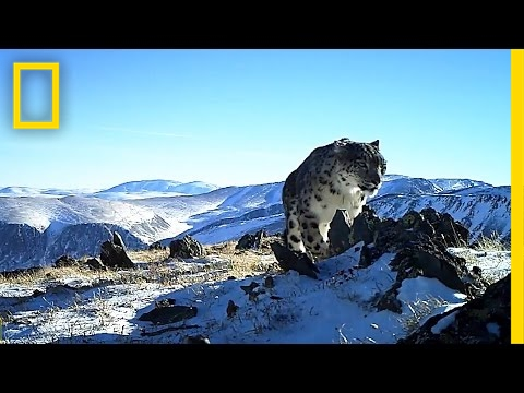 Camera Traps Reveal the Wild, Elusive Lives of Snow Leopards | National Geographic