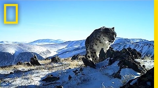 Camera Traps Reveal the Wild, Elusive Lives of Snow Leopards | National Geographic thumbnail