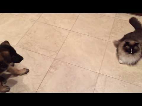 Ragdoll Cat 😺 Meets German Shepherd Puppy 🐶 for First Time - Floppycats