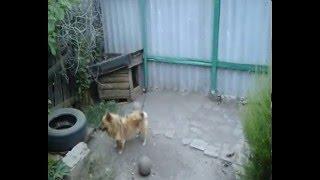 Собака гоняется за своим хвостом