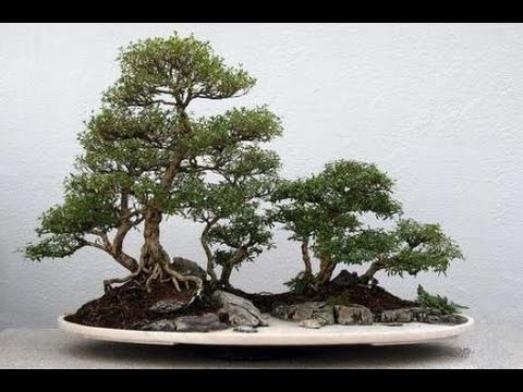 Serissa Bonsai Trees Youtube