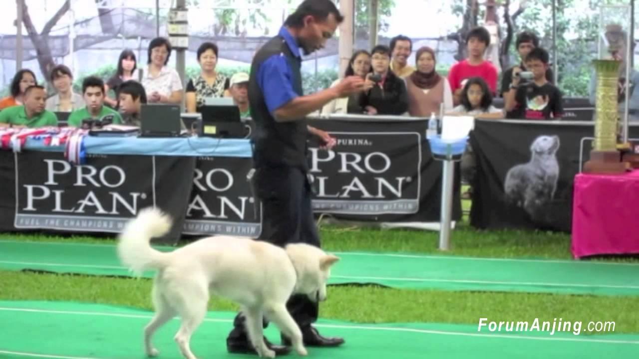Kebolehan Atraksi Anjing Kintamani YouTube