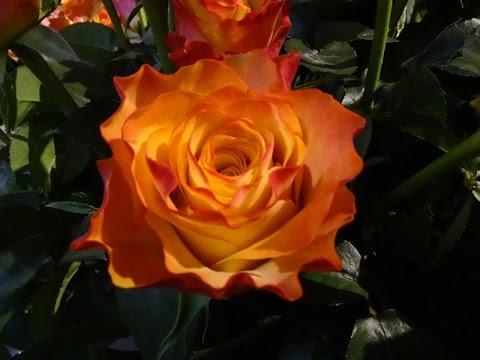 Виды и сорта роз на выставке в Голландии