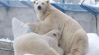 Время кушать у белых медведей ♡