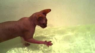 Сфинкс первый раз купается. Мелкий котенок сразу полюбил воду.
