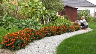Ogród warzywny po urlopie - szpinak wysiew, zbiór aksamitek na wywar i siew