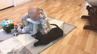Ориентальная кошка. Питомник TOTAL BLACK