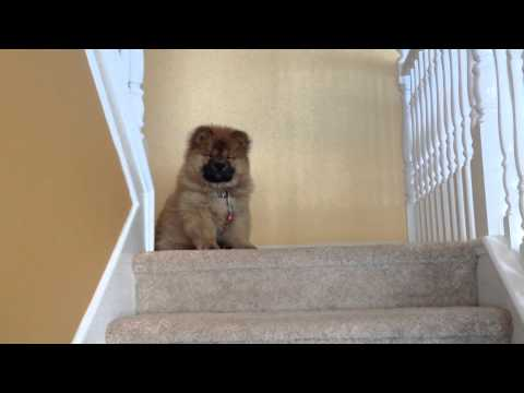 Funny Chow Chow Puppy scared to go downstairs
