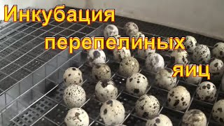 Инкубация перепелов без переворота / Зауральское подворье