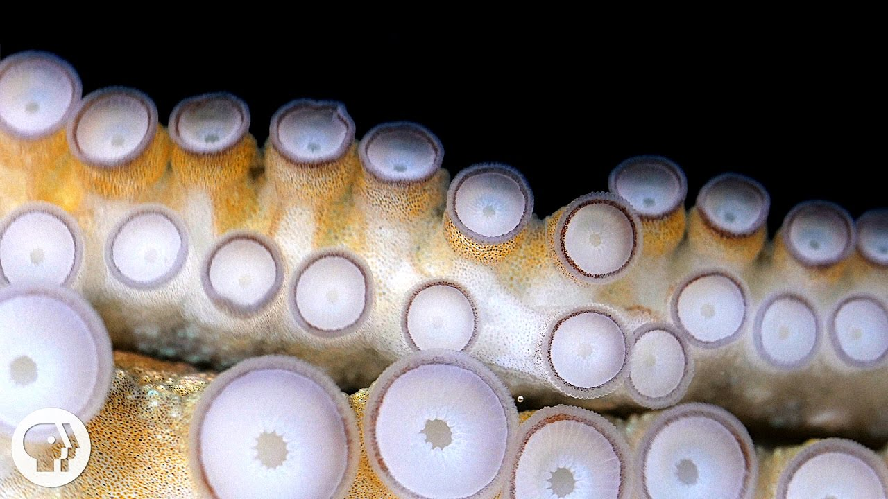 If Your Hands Could Smell, You'd Be an Octopus | Deep Look