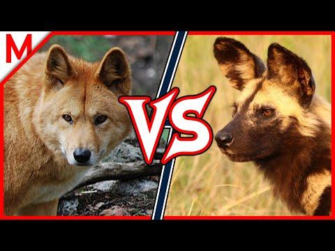 Dingo vs African Wild Dog | ANIMAL BATTLE (+Wolverine vs Honey Badger winner)