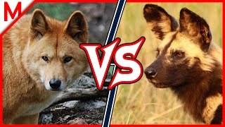 Dingo vs African Wild Dog | ANIMAL BATTLE (+Wolverine vs Honey Badger winner)