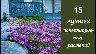 ❀ 15 лучших почвопокровных растений